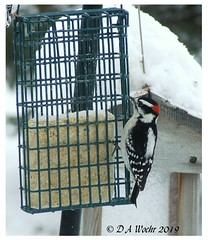 Downy Woodpecker (Picsnapper1212) Tags: downywoodpecker woodpecker bird animal nature suet winter backyard lebanon ohio
