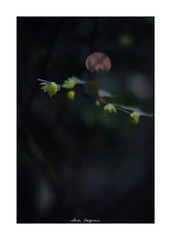 2019/1/13 - 16/18 photo by shin ikegami. - SONY ILCE‑7M2 / Carl Zeiss C Sonnar T* 1.5/50 ZM (shin ikegami) Tags: 蝋梅 flower 花 マクロ macro 井の頭公園 吉祥寺 winter 冬 asia sony ilce7m2 sonyilce7m2 a7ii 50mm carlzeiss sonnar csonnar50mmf15 tokyo sonycamera photo photographer 単焦点 iso800 ndfilter light shadow 自然 nature 玉ボケ bokeh depthoffield naturephotography art photography japan earth
