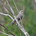 a friendly February Mockingbird