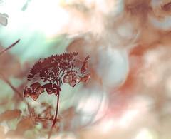 shades of brown (Tomo M) Tags: shadesofbrown nature hydrangea winter bokeh blur light backlit pentacon smileonsaturday