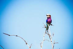 Lilac-breasted Roller (Nugohs1) Tags: afriquedusud africa southafrica lillacbreastedroller blue oiseau bird wild nature coraciidae rollier