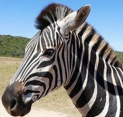 Burchell's Zebra (Equus quagga burchellii) portrait ... (berniedup) Tags: burchellszebra equusquaggaburchellii zebra taxonomy:trinomial=equusquaggaburchellii addo taxonomy:binomial=equusquagga equusquagga