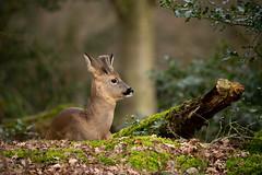 Roe buck resting (Susanne Leyh) Tags: roe roedeer deer buck roebuck animal wildlife nature outside outdoors forest wald mammal britishwildlife naturephotography natur nikon nikkor 300mm woodland
