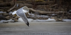 Ring Billed Gull 2019 (John Hoadley) Tags: ringbilledgull charlesdaleypark lincoln ontario 2019 bird gull march canon 7dmarkii 100400ii f56 iso1600