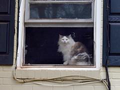 new cat on the block (rootcrop54) Tags: dilute calico longhair longhaired cat neighbors new neighbor neko macska kedi 猫 kočka kissa γάτα köttur kucing gatto 고양이 kaķis katė katt katze katzen kot кошка mačka gatos maček kitteh chat ネコ