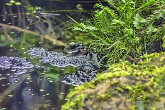 Frogs are back (pollylew) Tags: frogs gardenpond wildlife spring