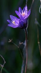 Delicate highlights (Old as you feel, Fujinite) Tags: flower light purple plant depthoffield dof bokeh macro closeup fuji fujinon fujifilm xt3 california lakeberryessa nature outdoor 55200