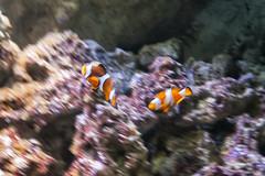 Nemo con su papi (lebeauserge.es) Tags: madrid españa naturaleza zoo animal acuario agua pez