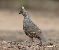 Scaled quail (Elizabeth Wildlife) Tags: scaled quail tx texas