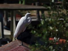 ardea alba (ze_da_binha) Tags: aves birds garça garçabrancagrande egret westerngreategret ardea alba ardeaalba ardeidae cabopolonio uruguay binha zedabinha