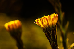 forest series #330 (Stefan A. Schmidt) Tags: coltsfoot germany forest