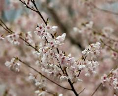 Cherry blossoms in the rain (O. Heda) Tags: sakuma hamamatsu shizuoka japan cherry blossom 桜 rain 雨 日本 静岡 浜松