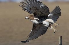 Taking Flight (Bill G Moore) Tags: naturephotography birdofprey redtailhawk billmoore raptor wild wildlife canon colorado
