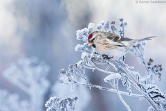 Frozen [Explored] (Dreemeli) Tags: carduelisflammea bird commonredpoll linnut luonto nature urpiainen d7200