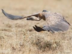 White-backed Vulture (npaprock) Tags: gypsafricanus gyps whitebackedvulture vulture afar ethiopia africa research gpsgsm flight tracking science hawkwatch hawkwatchinternational awashnp awash