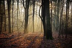 *** (pszcz9) Tags: polska poland przyroda nature natura naturaleza las forest bosque poranek morning światło light wschódsłońca sunrise drzewo tree pejzaż landscape beautifulearth sony a77