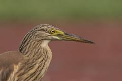 Sgarza Ciuffetto (Ricky_71) Tags: squacco heron ardeola ralloides summer swamp nikon