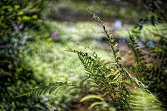 fern in sunlight (HeiJoWa) Tags: alpha 6000 sony 7artisans 55mm14 14 sunlight sonnenlicht fern farn bokeh blurry primelens natur nature green grün unscharf light licht strahlen saarland deutschland herrnergal pflanzen plant art beautiful schön