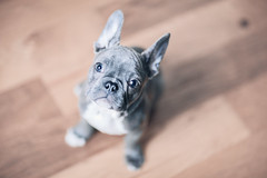 (Rebecca812) Tags: puppy cute dog pets adorable babyanimals animal canine woodfloor blue frenchie frenchbulldog highangle lookingup petportrait pamperedpets rebeccanelson rebecca812 canon