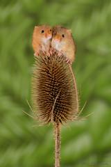 Harvest mice 6 12.01.19 (Lee Myers - aka mido2k2) Tags: green harvest mice mouse mammal small native wildlife uk countryside nature natural studio light portrait setup nikon d7100 flash strobe sigma macro 105mm cute smile happy fluffy rodent