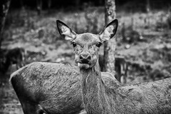 Elk - Carrot Theif (SNAPShots by Patrick J. Whitfield) Tags: animals elk lines patterns texture dof bokeh details depthoffield outside nature natur naturephotography eyes blackwhite blackandwhite bw bnw noiretblanc monochrome shadows fun flickr