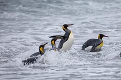King Penguins (Linda Martin Photography) Tags: bird kingpenguin salisburyplain spheniscidae wildlife nature southgeorgia aptenodytespatagonicus naturethroughthelens