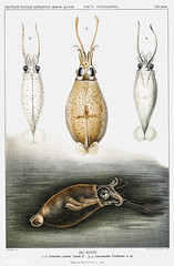 Glass squid vintage poster (Free Public Domain Illustrations by rawpixel) Tags: animal antique aquatic art book carlchun cc0 chun cranchiidae creativecommons0 creature dark decoration design drawing expedition free germandeepseaexpedition glasssquid illustration images life liocranchia mantle marine mediterranean mollusc name nature nautical northatlantic ocean octopus old painting picture poster print publicdomain science scientific scientificexpeditions sea sealife species squid sucker swollen tentacle tentacles transparent vintage zoology
