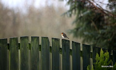 On the fence (mootzie) Tags: robinredfencebeengardenwildlifenaturescotlandbird aberdeenshire bird