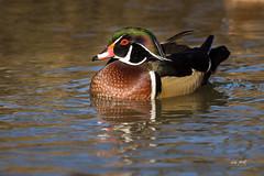 Wood Duck (markus_langlotz) Tags: ente duck brautente bach kreek woodduck american wood vogel bird wildlife creek