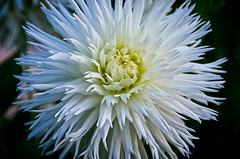 White Dahlia (elzbietafazel) Tags: dahlia flower petals garden gardening plant flora flowering bloom beautiful yellow purple multicolour nature white gorgeousflowers
