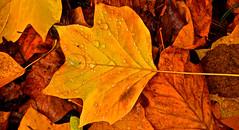 AUTUMN COLOURS (chris .p) Tags: leaf autumn colour nikon d610 worcestershire england 2018 leaves raindrops october bodenham arboretum uk leaveofadovetree