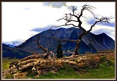 Limber Pine (robinb44) Tags: limberpine bristleconepine canadianrockies rockymountains crowsnest pass canada alberta pinophytaclass pinopsida pinales pinaceaegenus pinus strobus