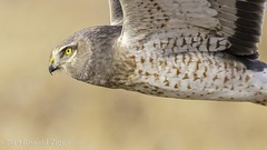 "Northern Harrier ""Grey Ghost"" in-flight IMG_2636 (ronzigler) Tags: northern harrier grey ghost bird raptor birdofprey nature wildlife avian birdwatcher"