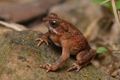 Ingerophrynus parvus, Dwarf toad - Khao Phra - Bang Khram Wildlife Sanctuary (Rushen!) Tags: dwarftoad ingerophrynus ingerophrynusparvus khaophrabangkhramwildlifesanctuary amphibia frog toad thailand krabi