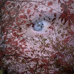(b-nik) Tags: maple red autumn leaves acer nature fall tree fujifilm x100f double exposure