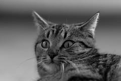 Neighbor's cat - the carpet crawler (rainerralph) Tags: fe2870200gm katze sonyalpha haustier petanimal pet tiere animals schwarzweiss cat a7riii blackwhite sony a7r3 animal