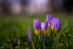 Spring - finally! (.: mike | MKvip Beauty :.) Tags: sony⍺7markiii sony⍺7iii sonyilce7m3 sonyalpha7m3 sonyalpha sony alpha emount ⍺7iii ilce7m3 samyangaf35mmƒ14fe samyang 35mm ƒ14 af closeup macro makro handheld availablelight naturallight backlight backlighting shallowdof bokeh bokehlicious beyondbokeh extremebokeh smoothbokeh nature flower spring karlsruhe germany europe mth mkvip crocus krokus ngc npc