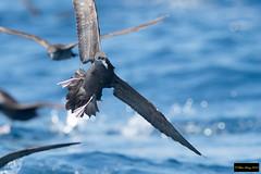 Wedge-tailed Shearwater (Puffinus pacificus) (Dave 2x) Tags: puffinuspacificus puffinus pacificus wedgetailedshearwater wedgetailed shearwater inflight sydneypelagic sydney pelagic nsw australia leastconcern