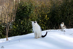 Doing Nothing On The Snow ❅ (Xena*best friend*) Tags: richardgere rg catherinedeneuve cd doingnothing cats whiskers feline katzen gatto gato chats furry fur pussycat feral tiger pets kittens kitty animals piedmontitaly piemonte canoneos760d italy wood woods wildanimals wild paws calico markings ©allrightsreserved purr digitalrebelt6s flickr outdoor animal pet photo nature winter cold catlover snow frozen freezing winterwonderland ilovewinter ilovesnow catsinthesnow catshavingfuninthesnow wonderfulwinter snowcat canonef70300mm