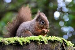 Munching away (moniquerebanks) Tags: squirrel eekhoorn bokeh forest wald bos eichhornchen rodent knaagdier sciurusvulgaris scoiattio ardilla closeup nikond7100 redsquirrel ecuruell uk cumbria nature natuur natura countryside countryliving lakedistrict unesco