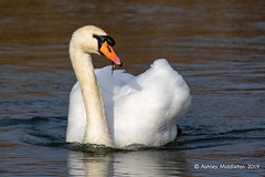 Mute Swan (Ashley Middleton Photography) Tags: inglesham riverthames animal bird england europe muteswan river swan unitedkingdom wiltshire
