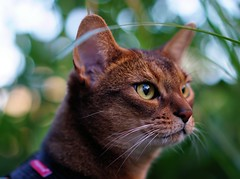 LizZie watching birds 😼 (revisited) 😻 (DizzieMizzieLizzie) Tags: abyssinian aby beautiful wonderful lizzie dizziemizzielizzie portrait cat chats feline gato gatto katt katze katzen kot meow mirrorless pisica sony a6500 animal pet sonyilce6500 fe55mmf18za 2018