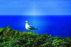 seagull (_tonidelong) Tags: cornwall cornualles seagull crow gaviota cuervo landscape paisaje england uk britain gran bretaña great easter semana santa nature naturaleza green sea mar atlantic south west farm world heritage holidays vacation vacaciones