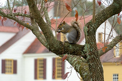 A Williamsburg Squirrel (ggavin5000) Tags: colonial williamsburg yard tree squirrel acorn eating fall