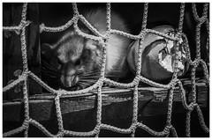 Curious Rat (f_gray1) Tags: curious rat animal wildlife pet rodent skegness aquarium monochrome