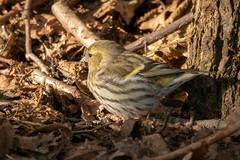 Grönsiska_IMG_9041 Carduelis spinus (andersarman) Tags: grönsiska carduelisspinus sigtunaån gnesta eurasiansiskin siskin bird fågel wildlife natur nature sweden