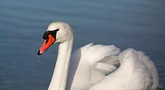 Swan beauty, Norway (KronaPhoto) Tags: 2019 natur vinter