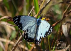 Marbled White Melanargia galathea (Peter.Stokes) Tags: australia australian colour landscape nature outdoors photo photography marbled white melanargia galathea butterfly