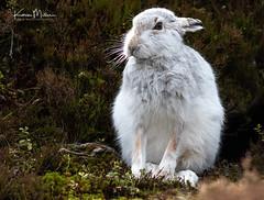 Mountain Hare (Karen Miller Photography) Tags: mountainhare hare lepustimidus white winter scotland wildlife highlands nature behaviour habitat