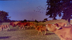 (cladoxylopsidus) Tags: canon eos 300 analog herd cow cows outside germany bad exposure
